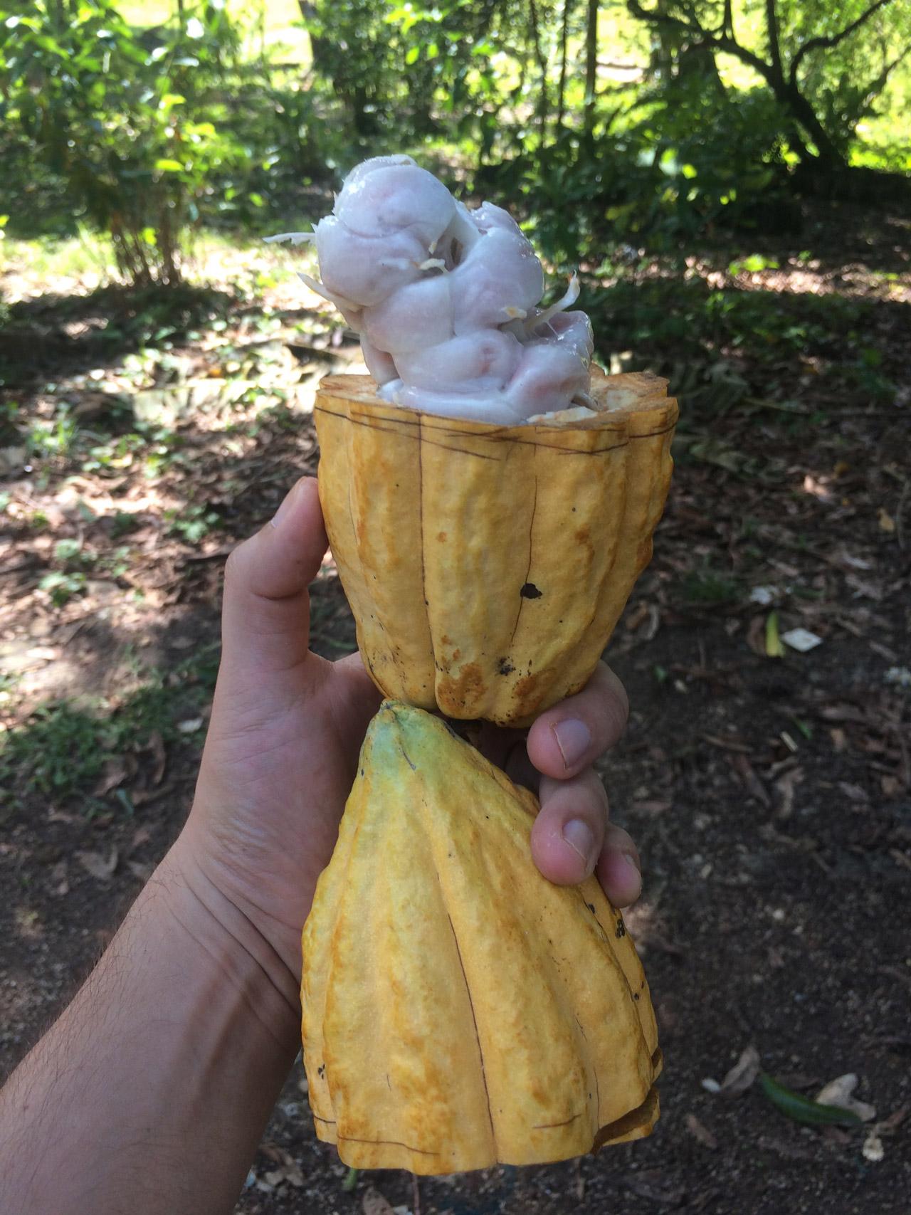 Cacao_2.jpg