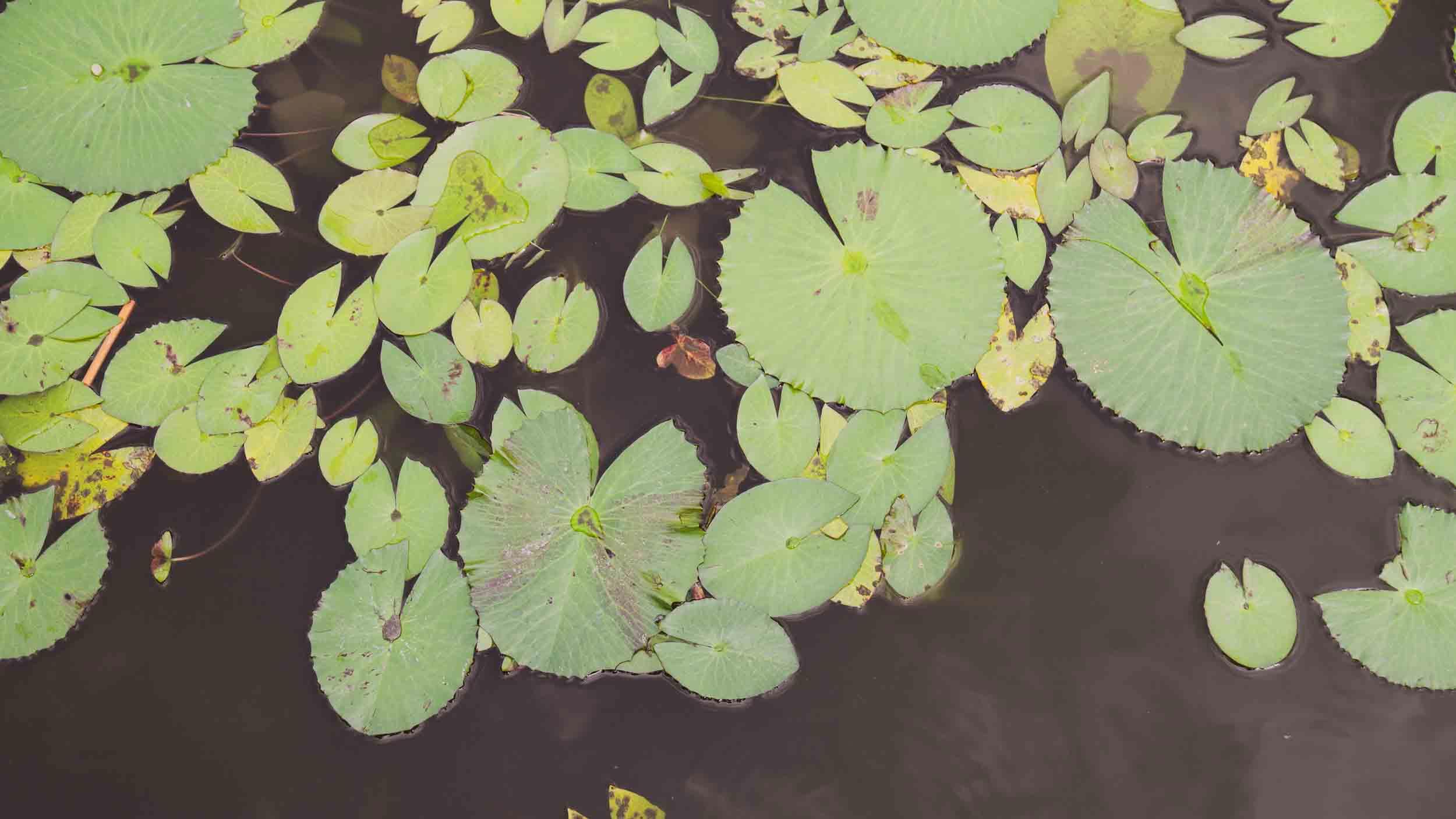 Lilypads-2500-1406.jpg