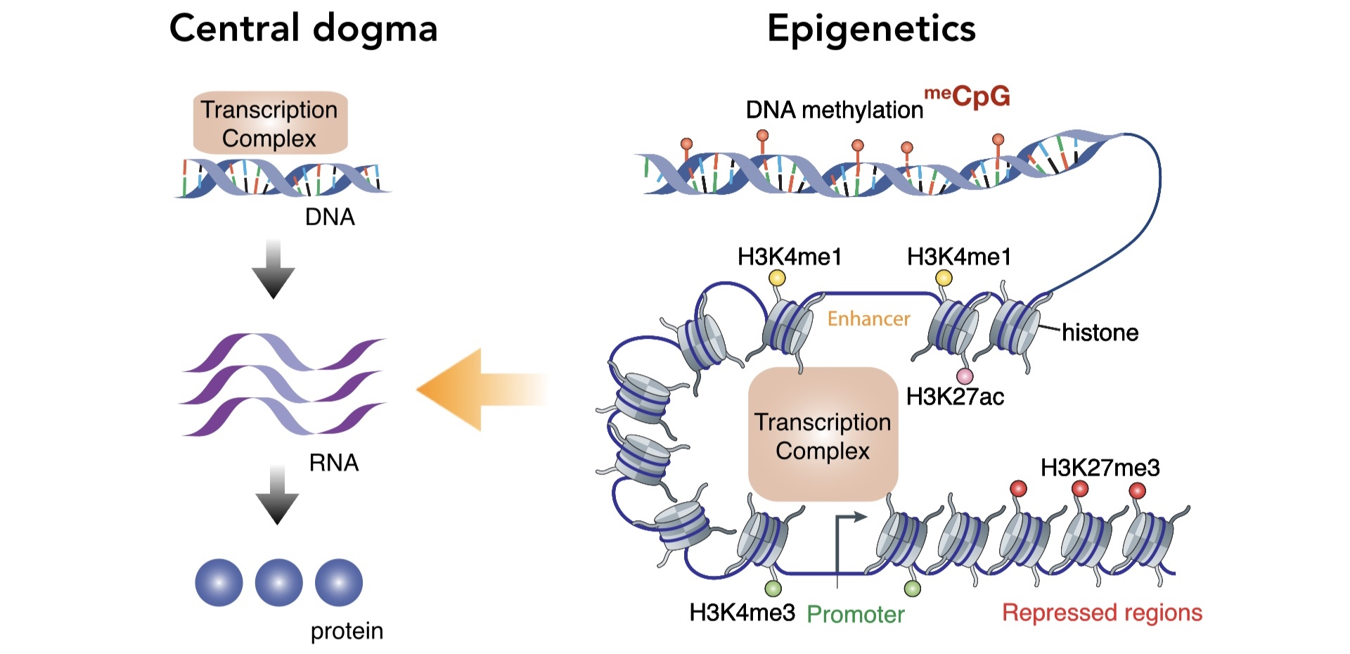 - Epigenetic information provides an additional layer of control for gene expression.