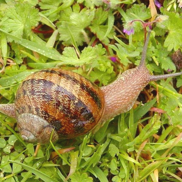 The famed  petit-gris , or little gray snail.