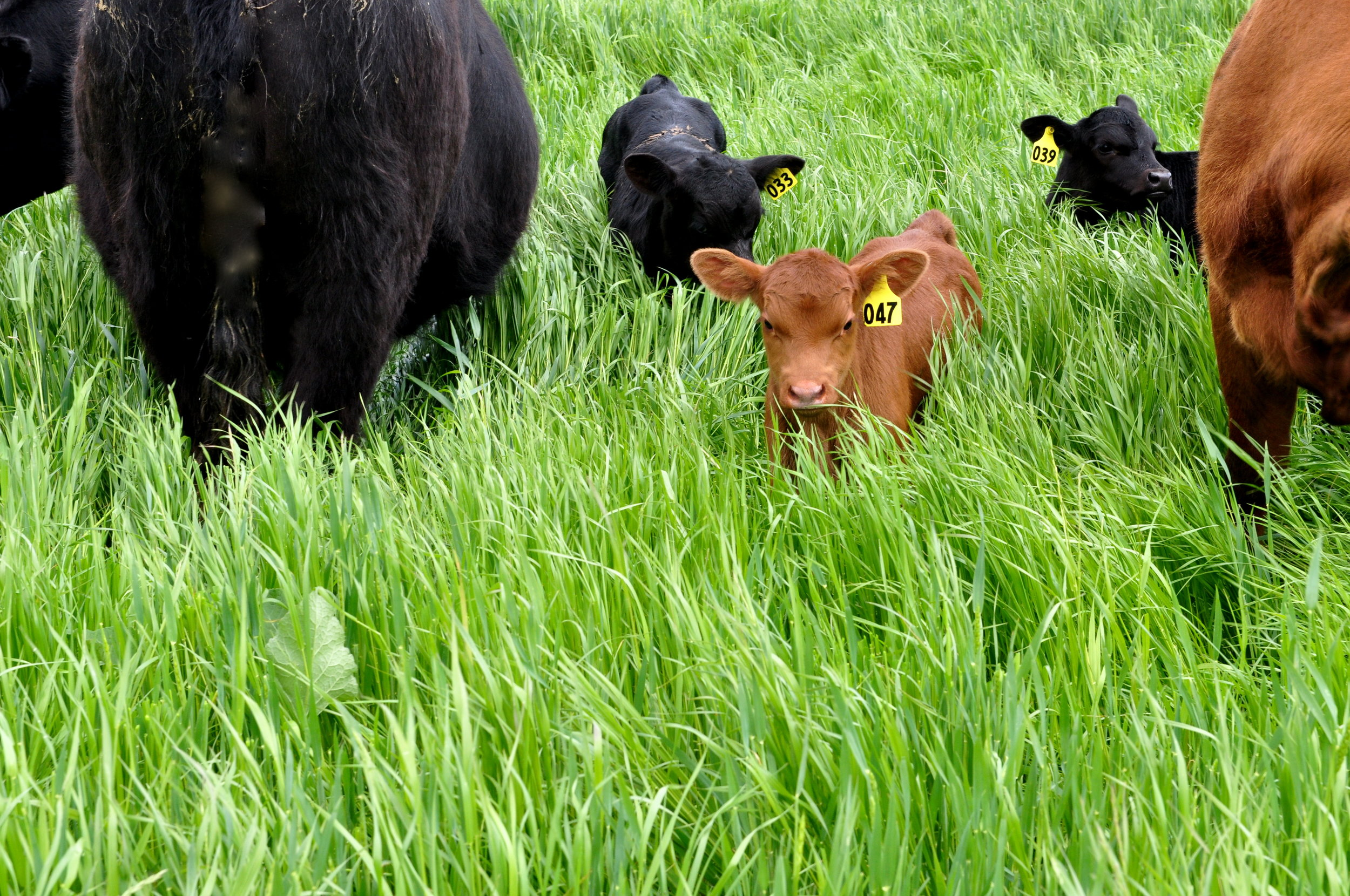 George Lake - calves in grass.JPG