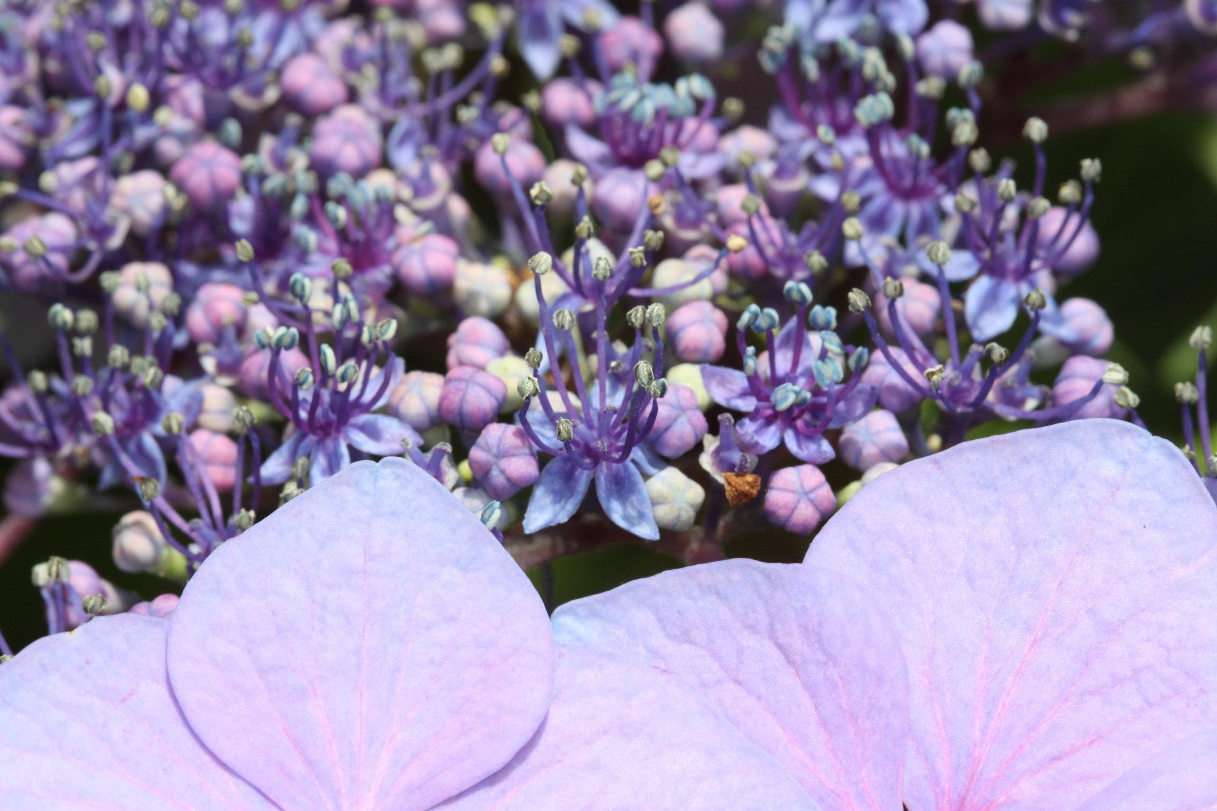 Hydrangea_bluepinkFlw_GIS_2013_BRACT_FLW_IMG_3667.JPG