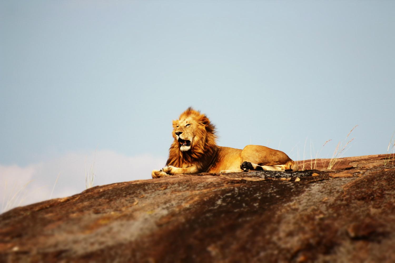 lion-lowres.jpg