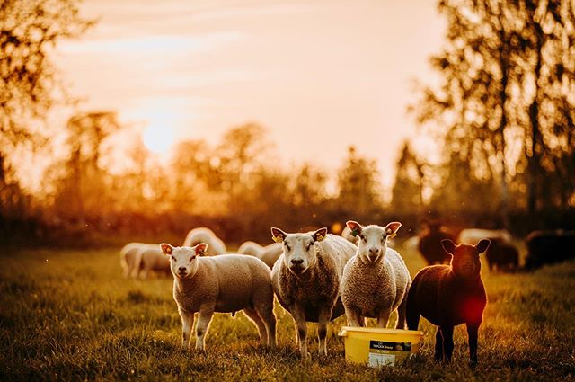 Sheep friday #visitsweden #visitscandinavia #sweden #sverige #igsweden #ilovescandinavia #igscandinavia #swedishmoments #scandinavia #canonsverige #visitsmaland #raw_nature #raw_sweden #loves_sweden #växjö #swedenimages #nature #letsgosomewhere #travelphotography #packandgo #travel #weroamsweden #canon_photos #småland #ig_worldphoto #instagram #liveauthentic  #teamcanon #chasinglight