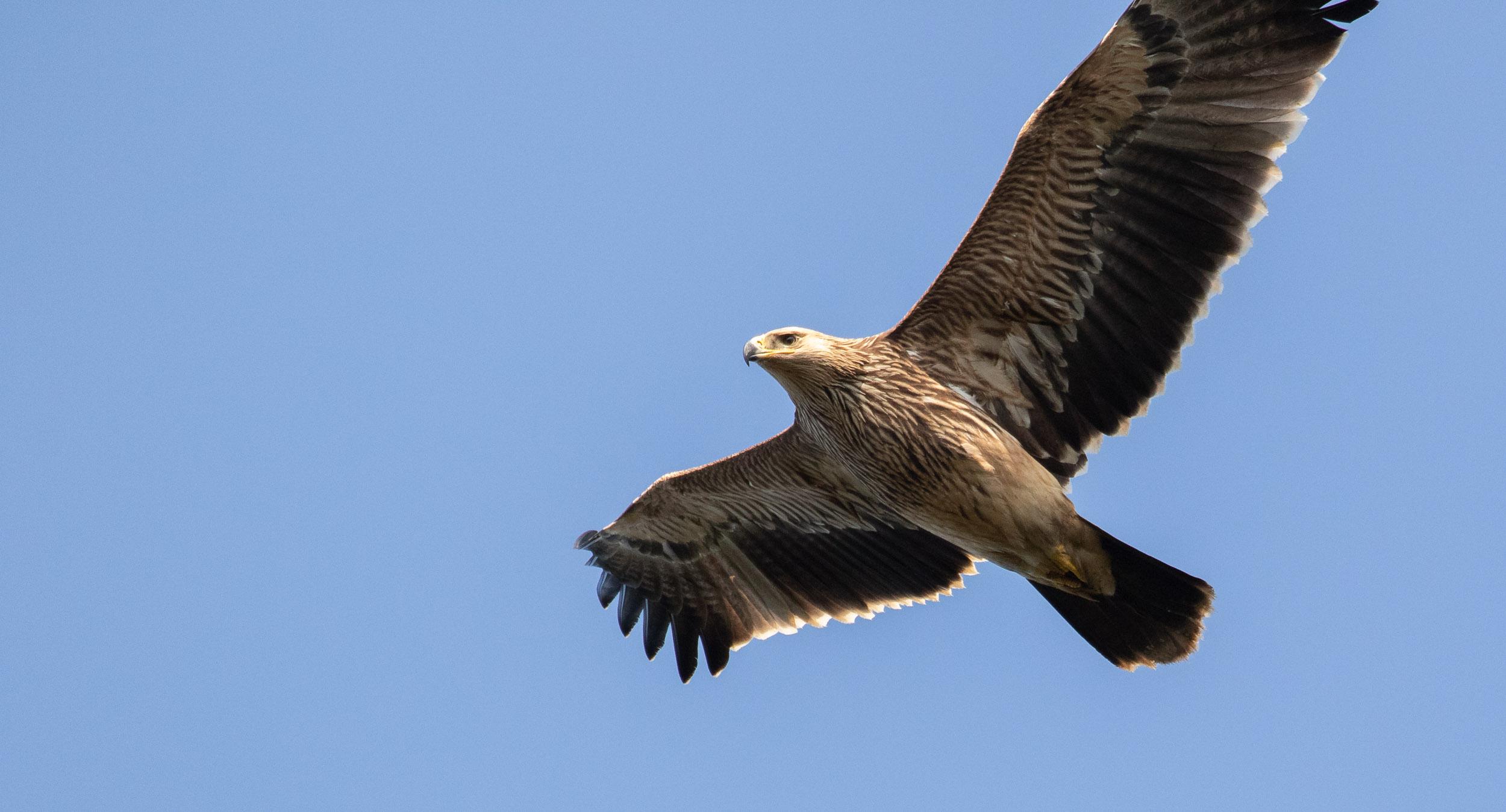 Juvenile Imperial Eagle. Photo by Bart Hoekstra.