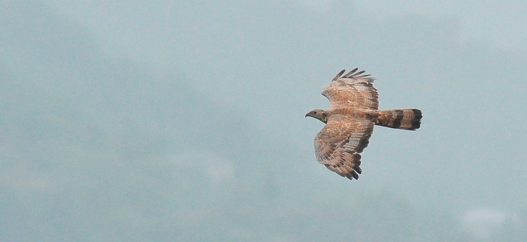 Crested Honey Buzzard. Photo by Jan Ranson.