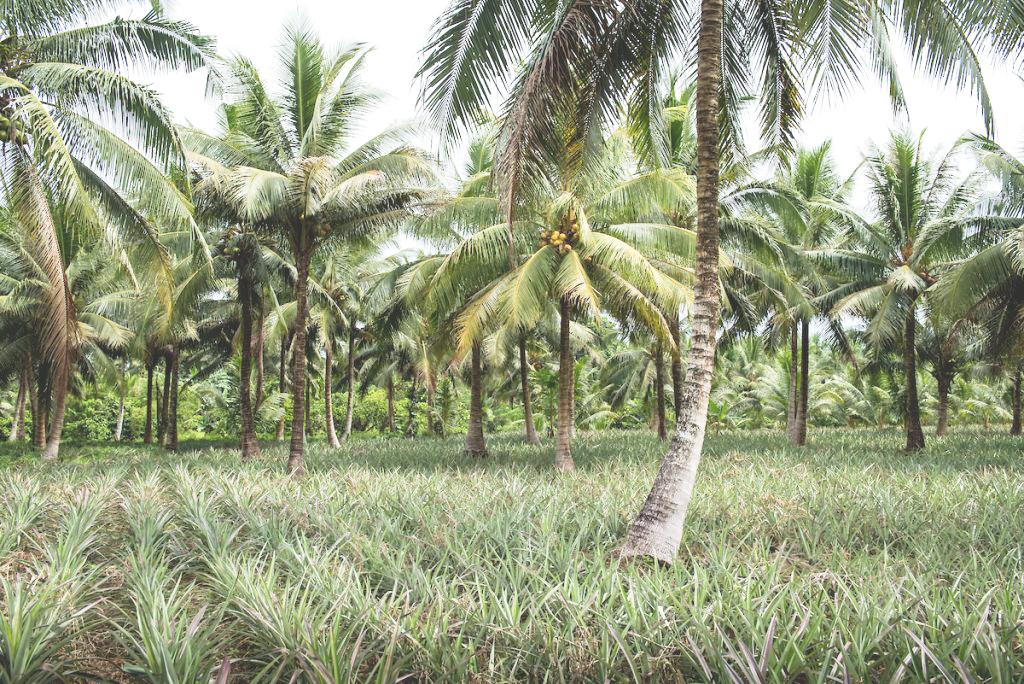 pinatex palm field.jpg