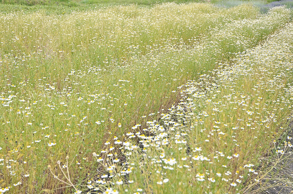 Chamomile fields for Monte Sapo face mist & oil.