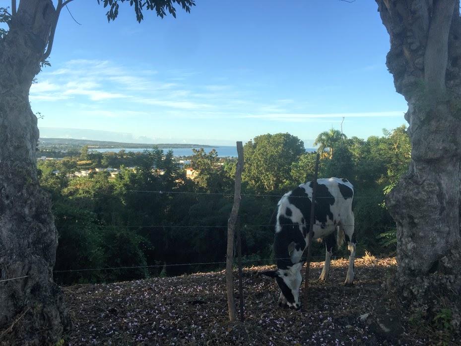 A cow grazing on a steep hillside in Mayagüez.