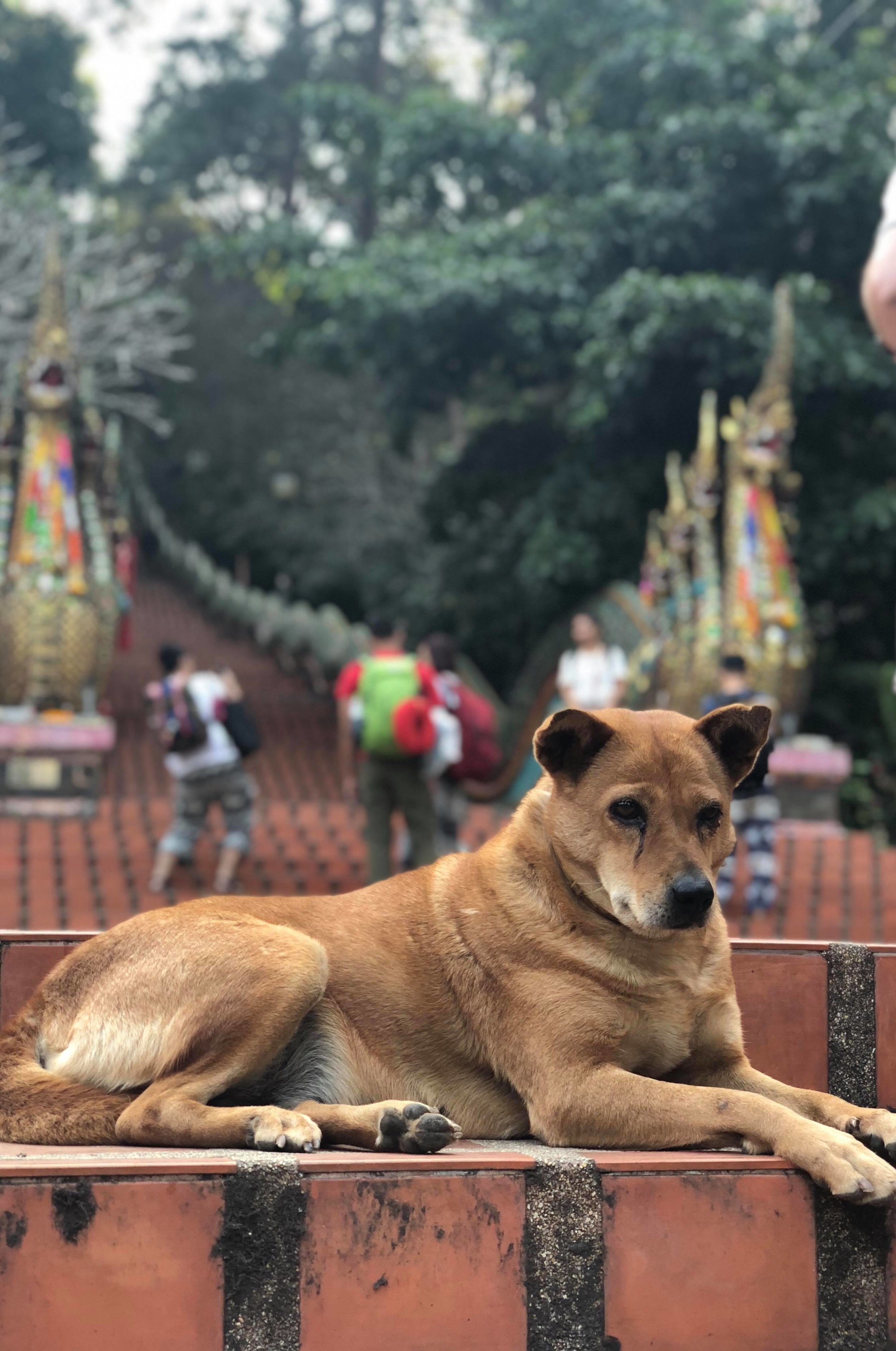 A temple dog lounging in front of the five-headed Naga that guard the stairs of Doi Suthep.  Photo by Heather Marie