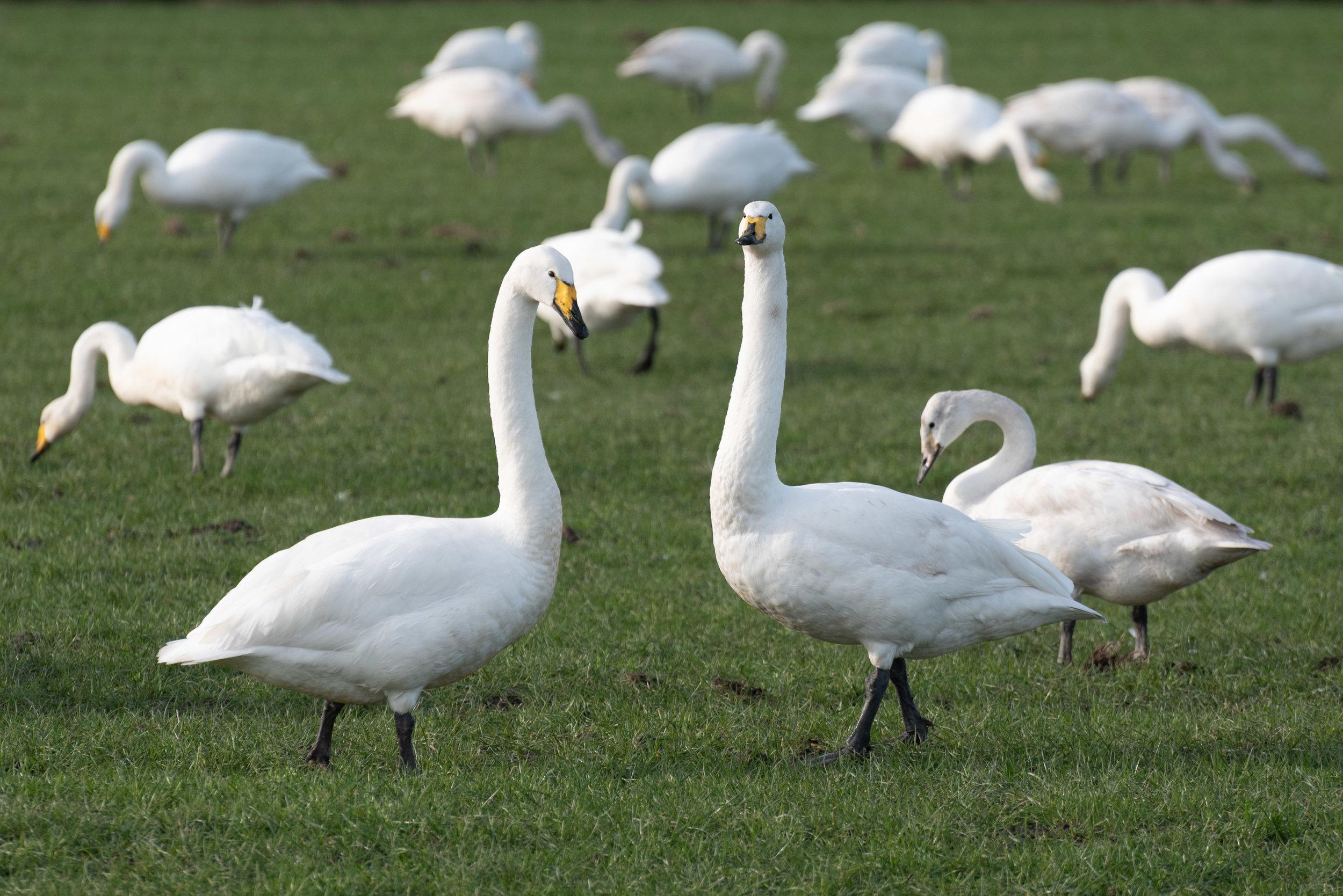 Whooper swans_DSC7638.jpg