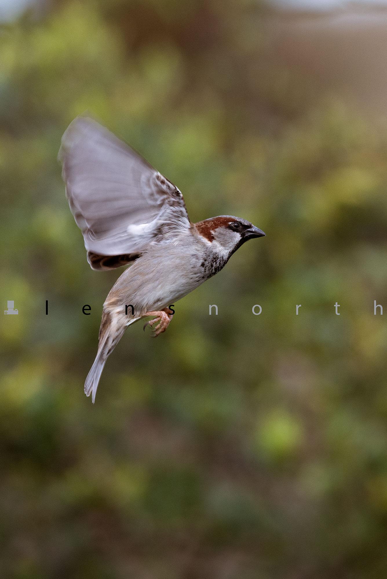 Sparrow hovering_DSC8666.jpg