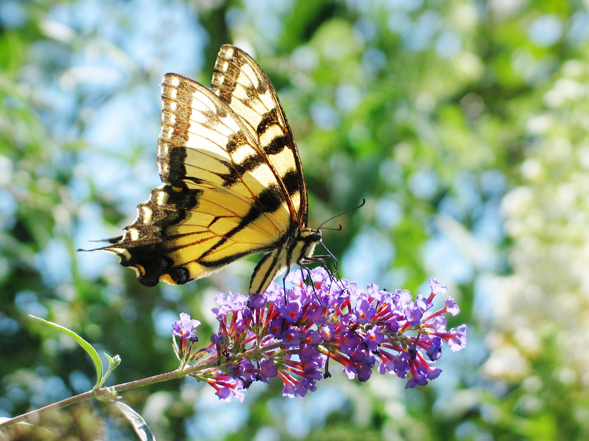 Butterfly on a mayflower.