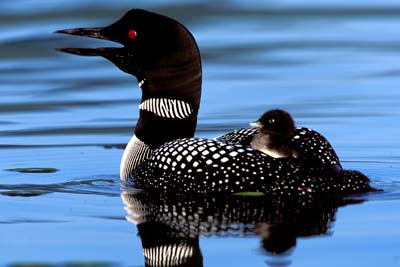Picture courtesy of The Loon Preservation Committee