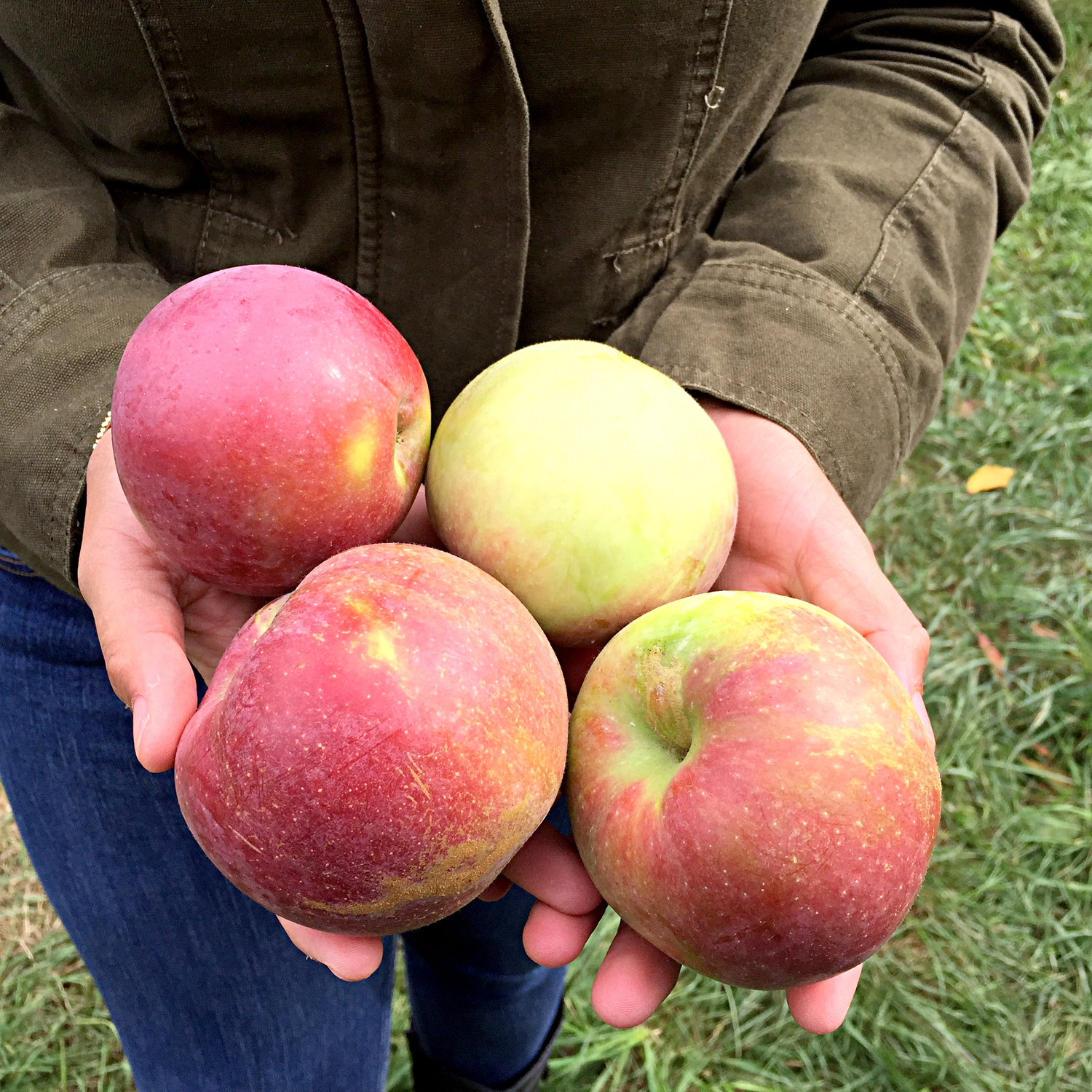 It's apple picking time in the Lakes Region