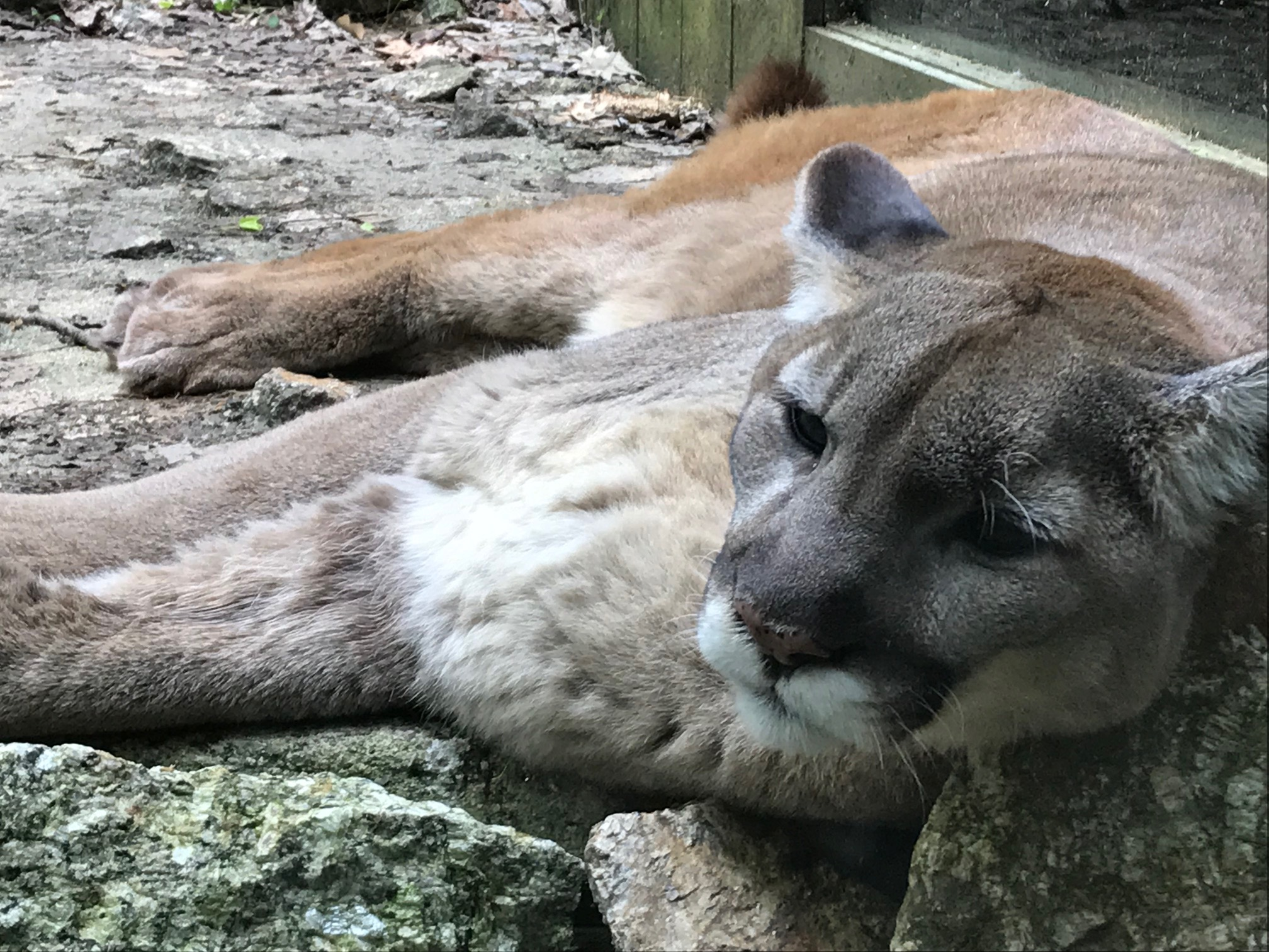 The majestic Mountain Lion