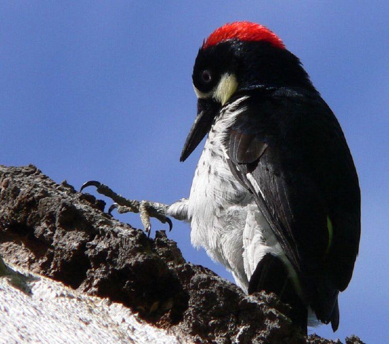 Acorn Wooedpecker (David Zittin, Rancho San Antonio, CA)