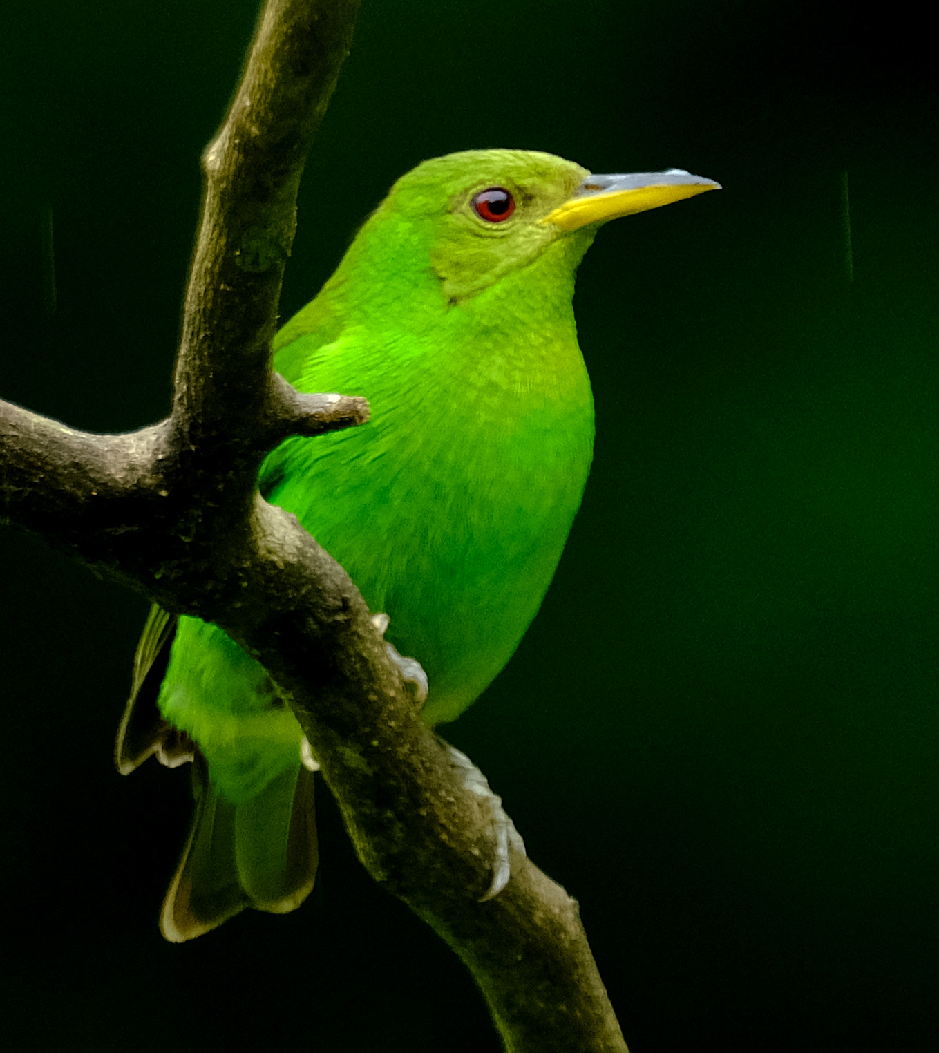 The female Green Honeycreeper, unlike the male, is green.