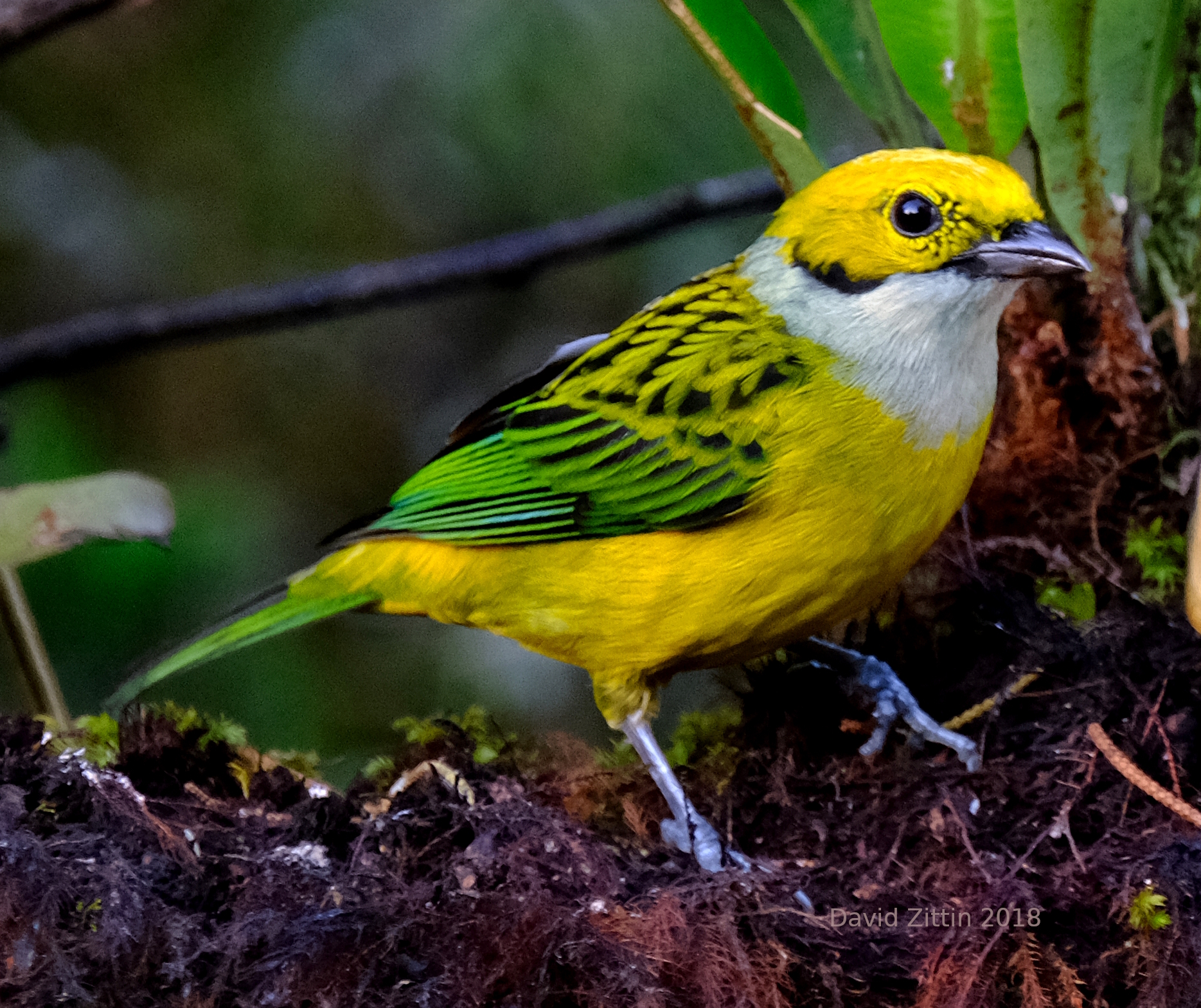 Silver-throated Tanager. Photo Taken at Las Cruces Biological Station, Costa Rica (David Zittin 2018)
