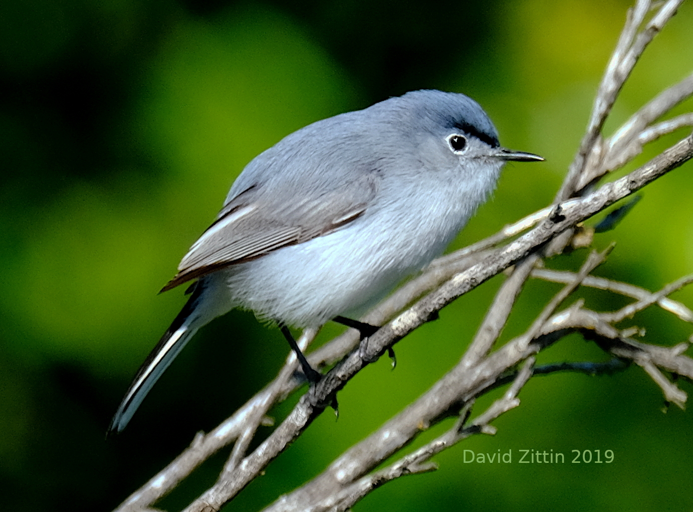 Blue-gray Gnatchater