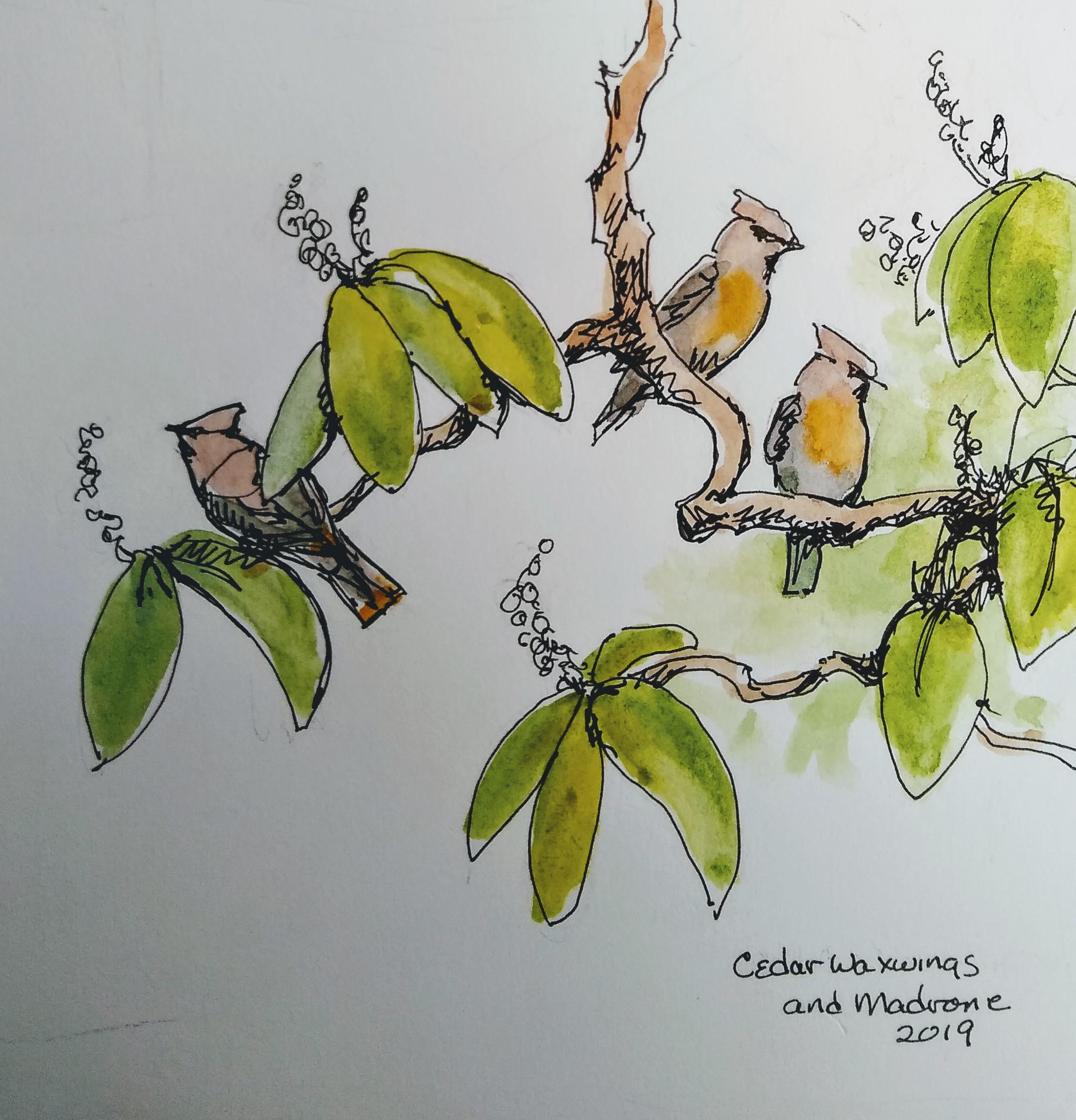 Cedar Waxwing sketch