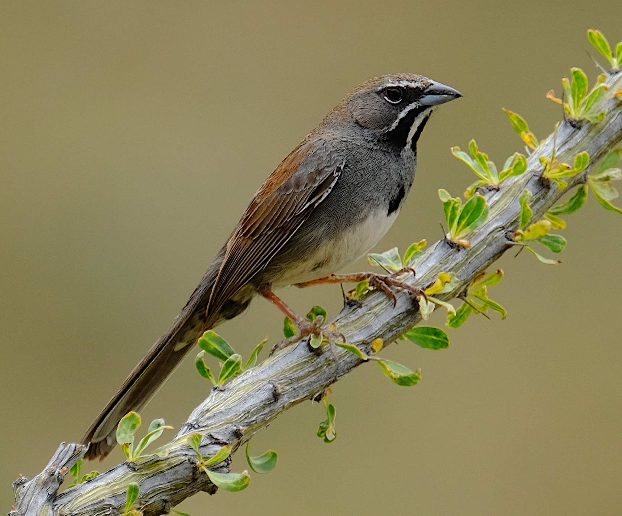 Five-striped Sparrow 2.JPG
