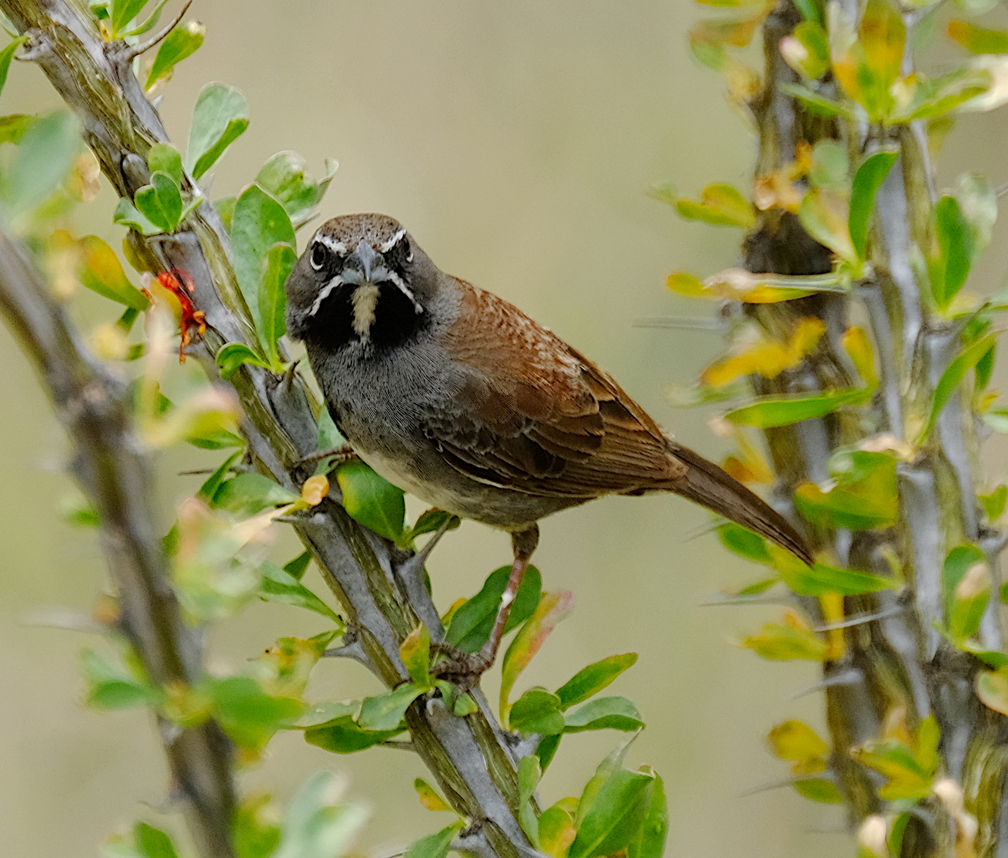 Five-striped Sparrow 3.JPG