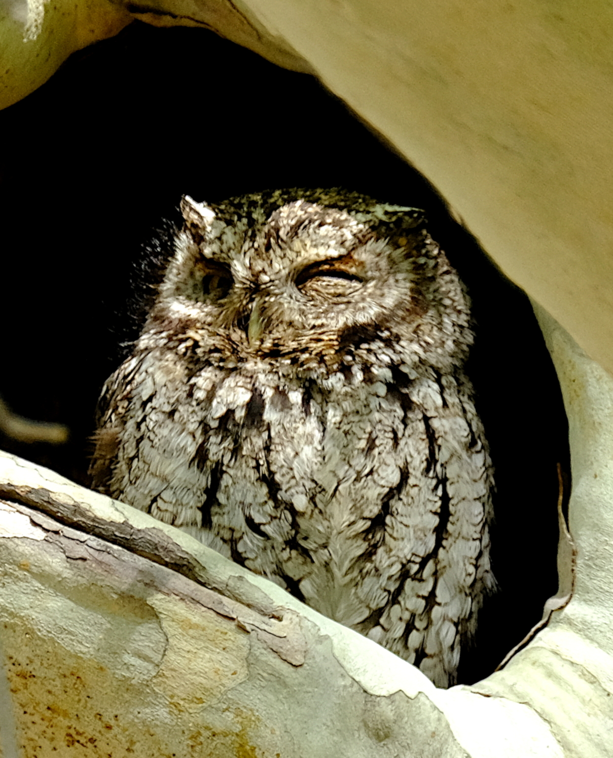 Whiskered Screech Owl.JPG