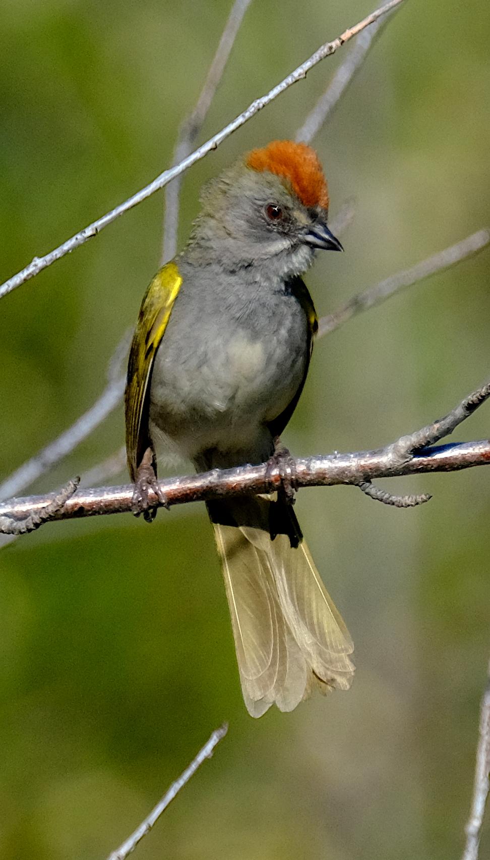 Green-tailed Towhee 1.JPG
