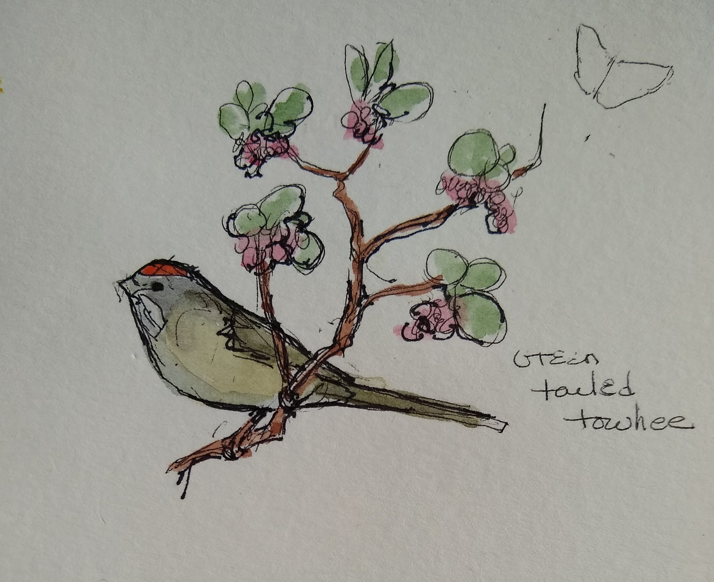 Towhee and manzanita sketch 2019