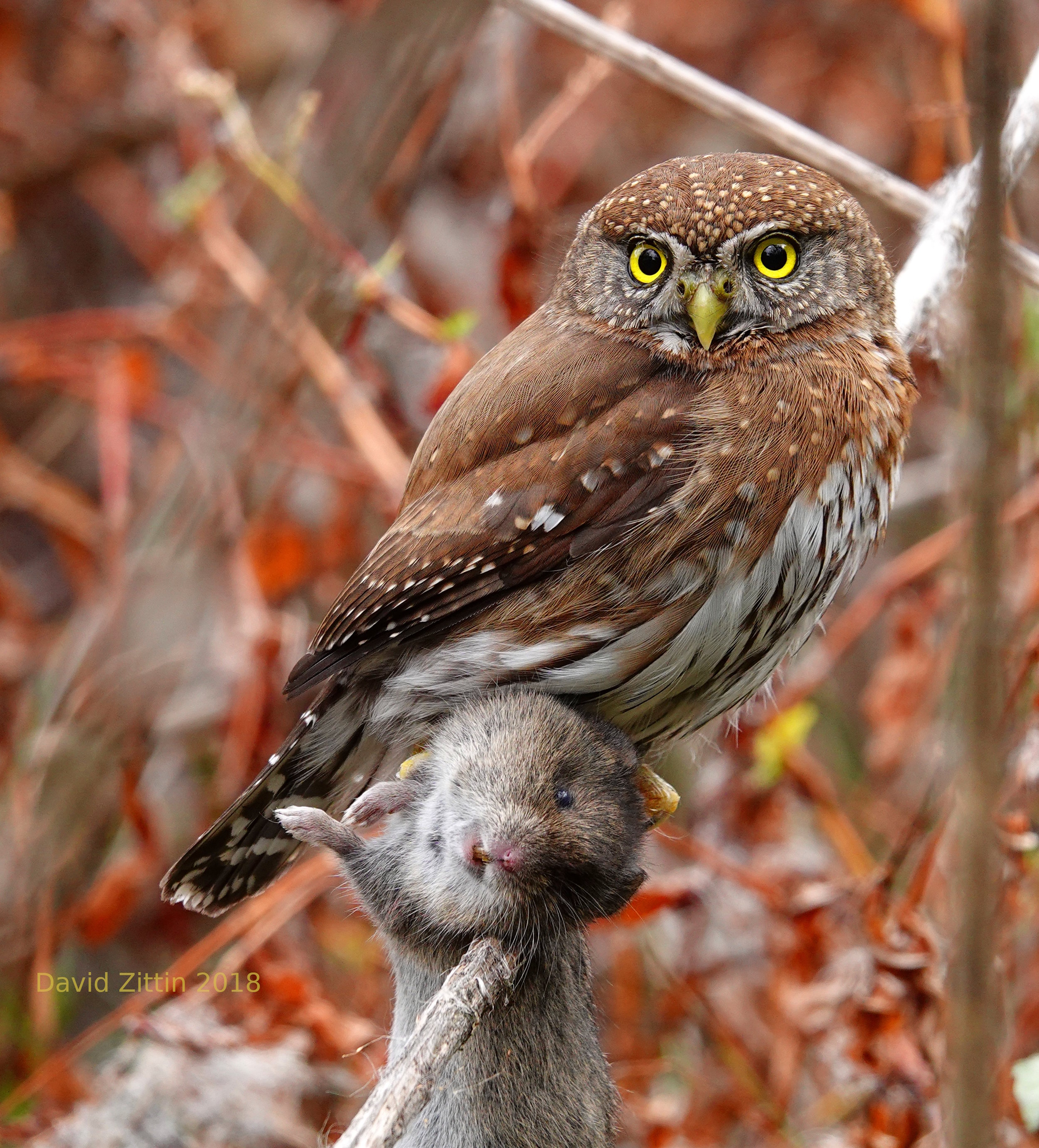 Northern Pygmy-Owl with vole