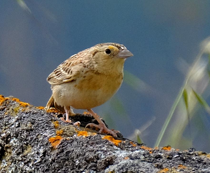 Grasshopper Sparrow 1.JPG