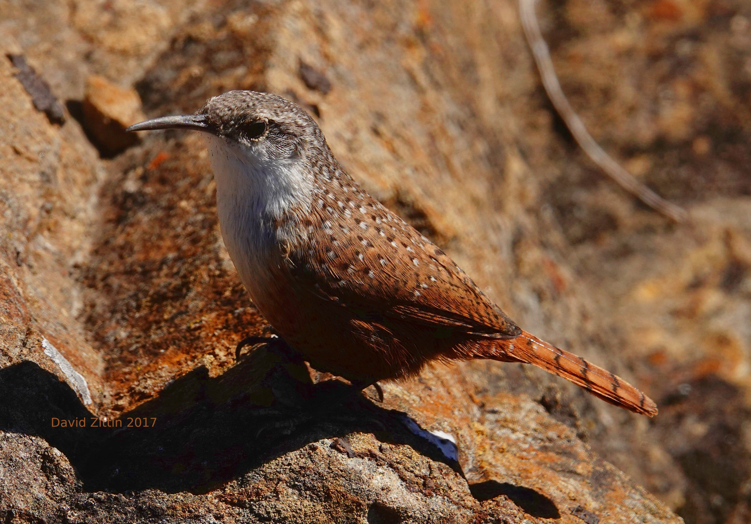 Canyon Wren 1.JPG
