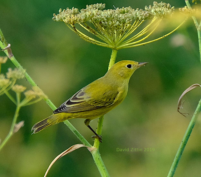 Yellow Warbler 1.JPG