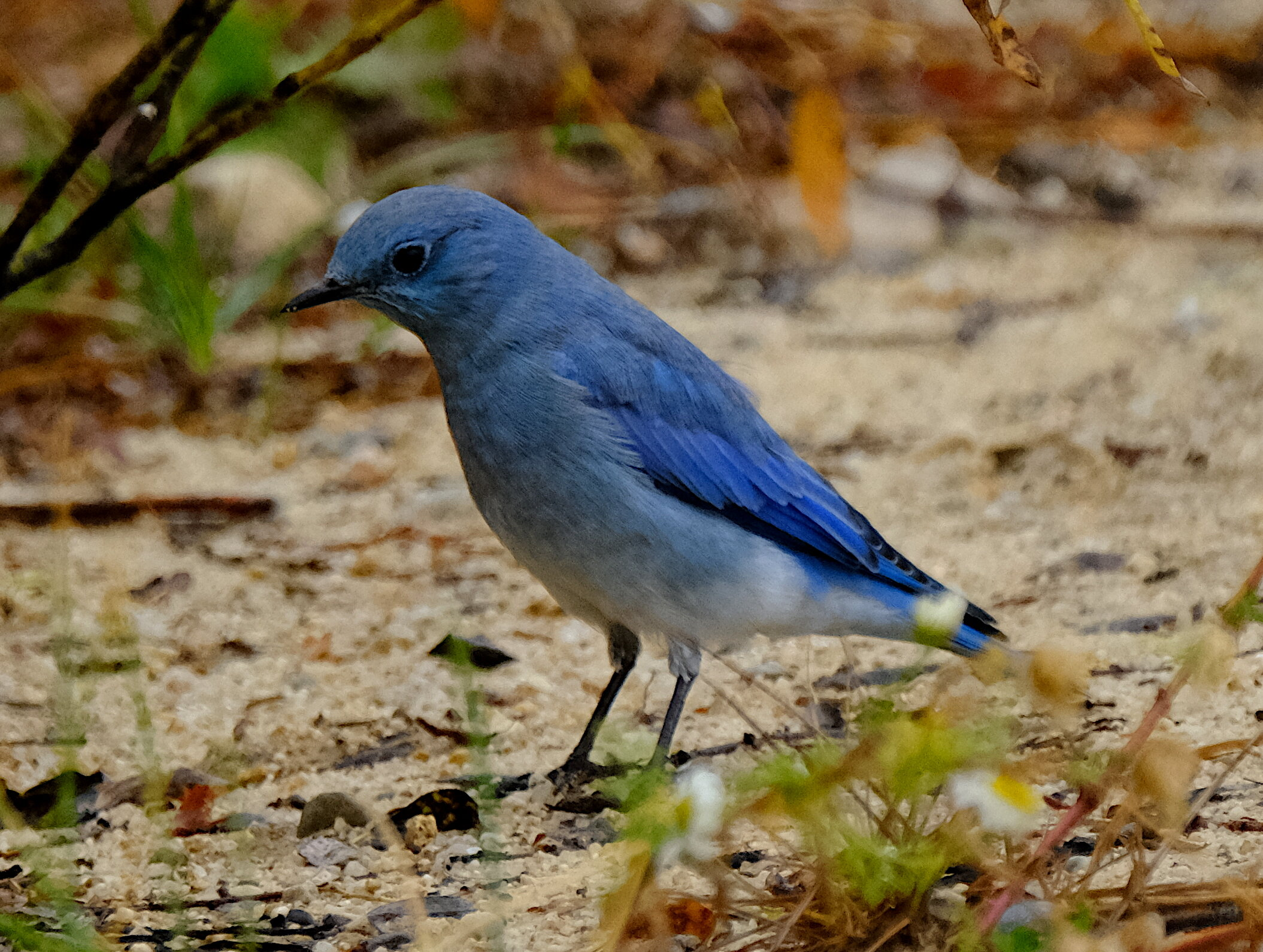 Mountain Bluebird1.JPG