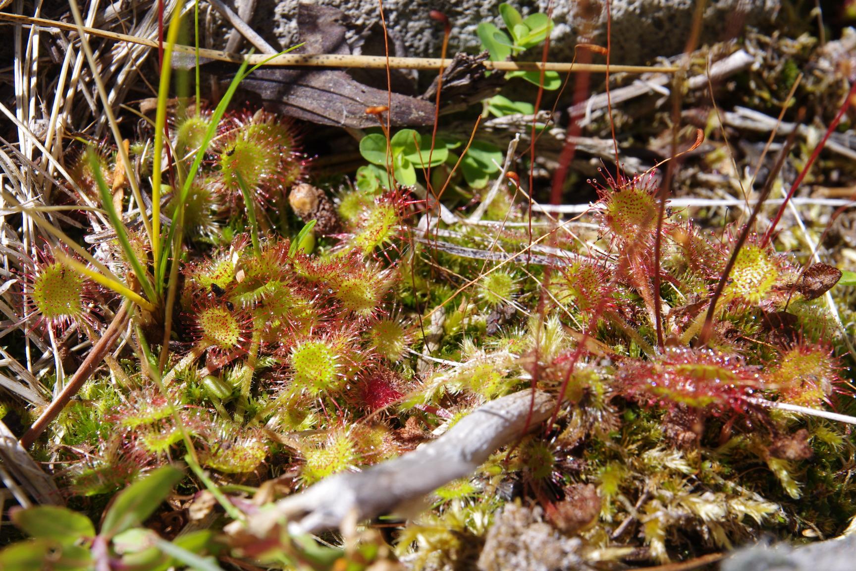 Sundew Drosera rotundifolia.JPG