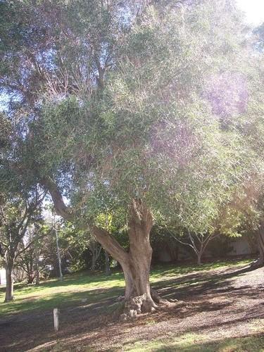 5-6-07+Olive+tree+in+front+of+Woodside.jpg
