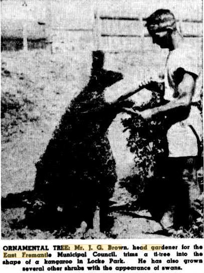 JG Brown trims a kangaroo 1949