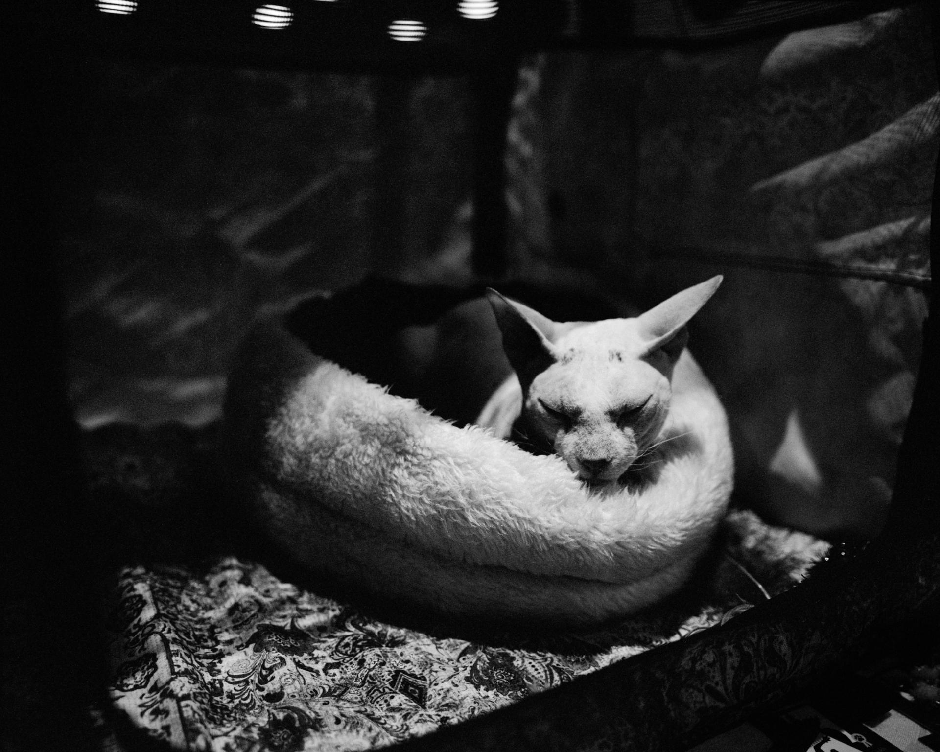 mpiepenbrink-pdx-catshow-6.jpg