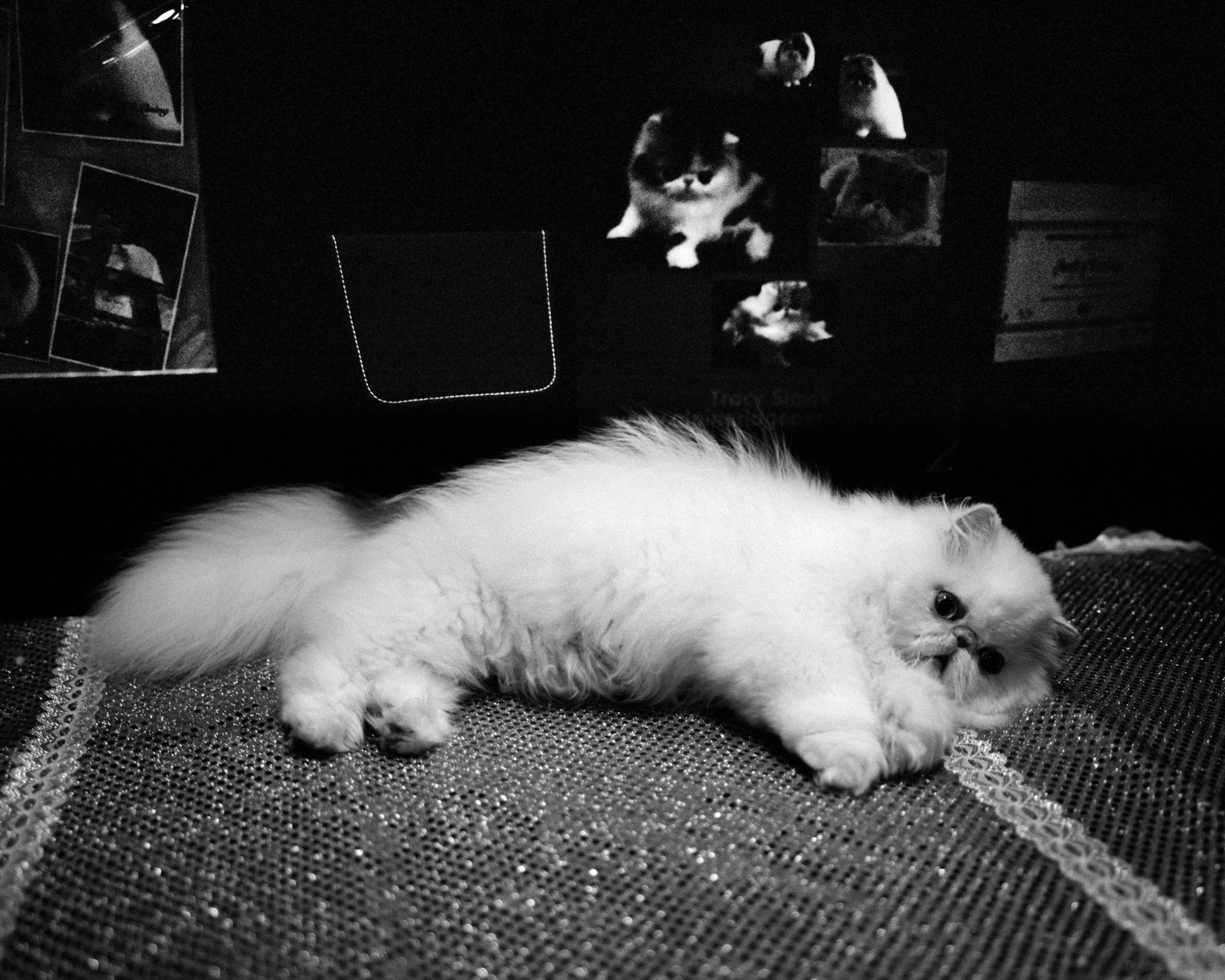 mpiepenbrink-pdx-catshow-14.jpg