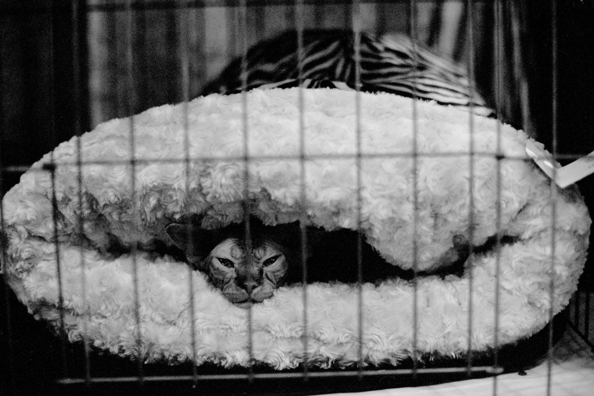 mpiepenbrink-pdx-catshow-19.jpg