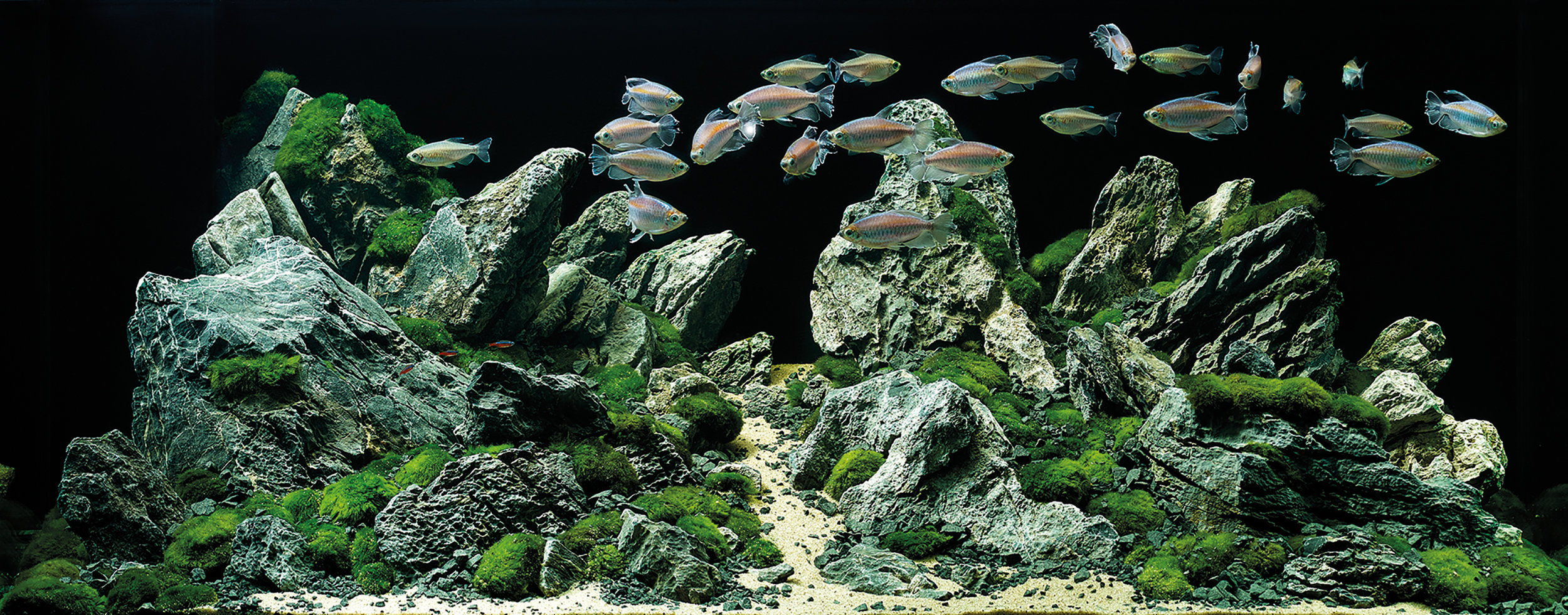 Plants pictured:  Cladophora aegagropila   Fish pictured:  Cardinal tetra (Paracheirodon axelrodi) Congo tetra (Phenacogrammus interruptus) Diamond tetra (Moenkhausia pittieri)