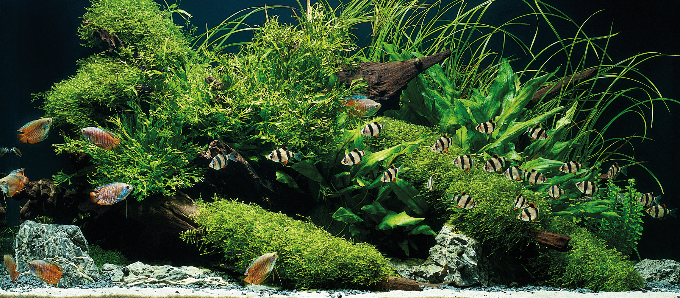 Plants pictured:  Cryptocoryne wendtii 'Green', Cyperus helferi, Microsorum pteropus 'Windeløv', & Vesicularia dubyana 'Christmas'   Fish pictured:  Powder Blue Dwarf Gourami (Colisa lalia) and Tiger Barb (Puntius tetrazona)