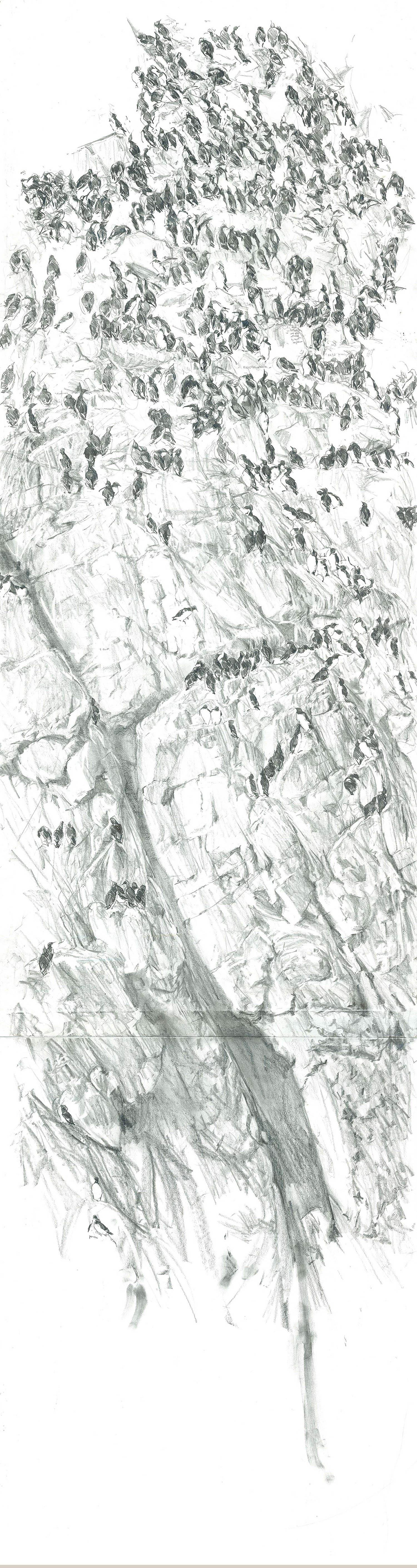 HOME_2500_bullhole_skomer_loomery_drawing_art_Installation_wildlife_guillemot_graphite_wallbank.jpg