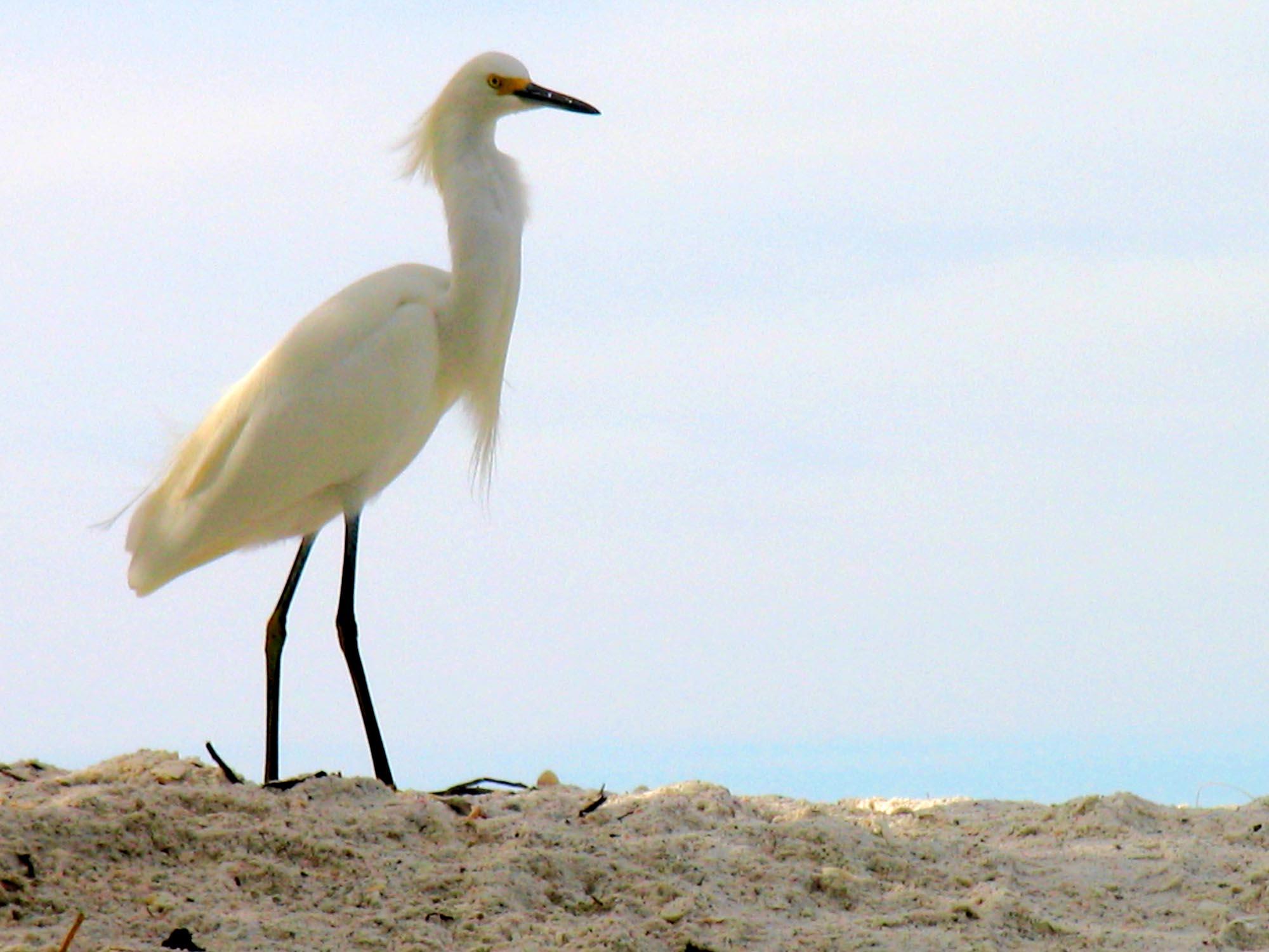 Calusa Snowy egret MB photo copy.jpg