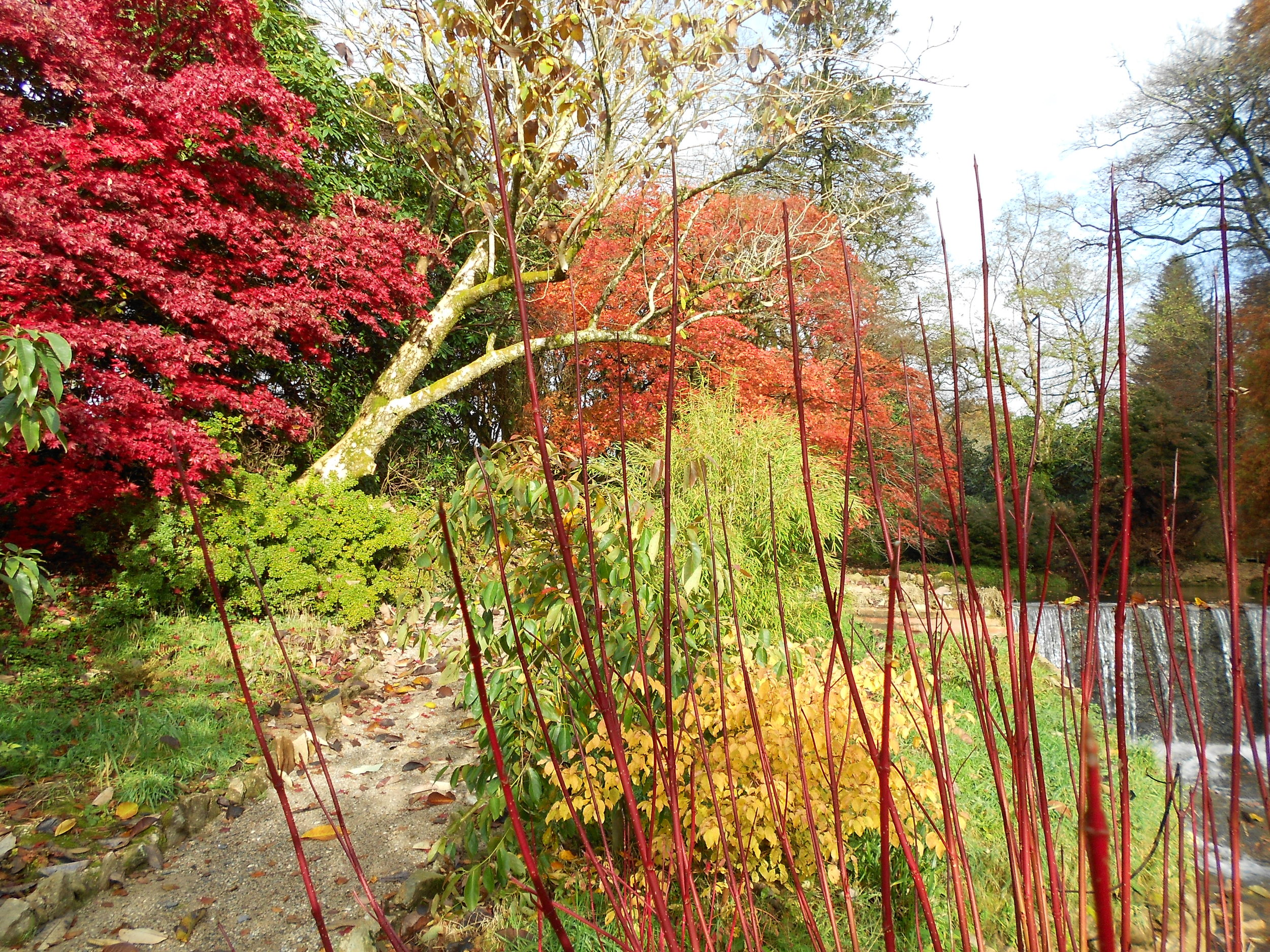 Dogwoods and acers.jpg