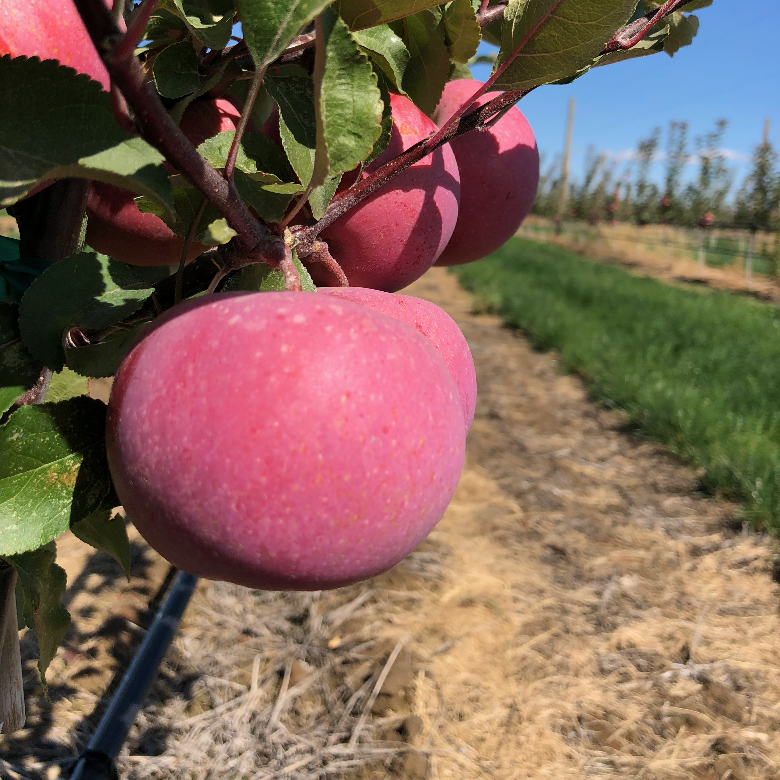 Red Flesh - Originating in Kazakhstan, this sharp apple with very unique red flesh that, when crushed, reveals a beautiful pink juice. Its flavor is tart and reminiscent of red berries. It blends well with lower acid apples or can be made into an excellent single varietal cider.