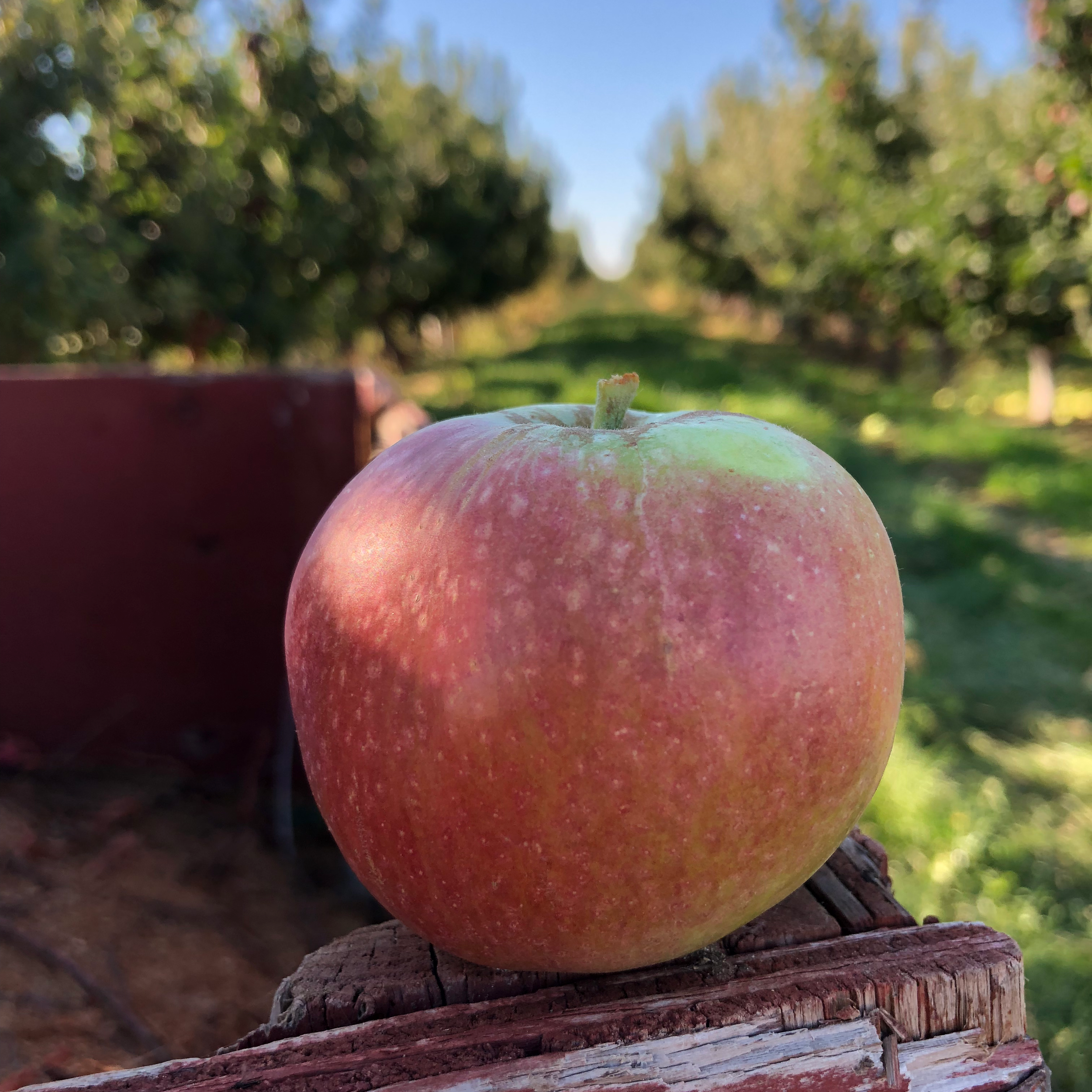 Dabinett - This English cider apple that was discovered in Someret around 1850. It is presently one of the most popular modern cider varietals. It is Bittersweet with distinct tannins and low acid. Nice flesh for pressing.
