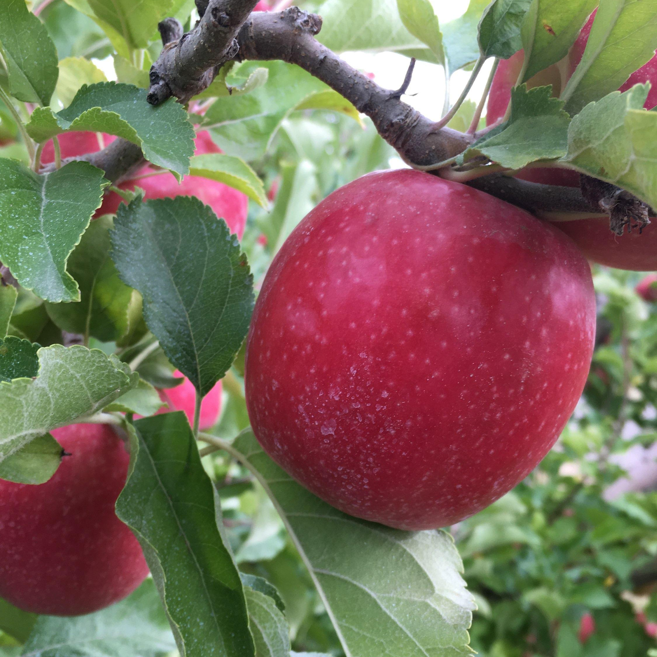 Cripps Pink - Our favorite sharp dessert apple was bred in Australia in 1973 by researcher John Cripps. With high sugar and a higher acid level this dessert fruit is good both for eating and making cider. We consider this an excellent blending apple and use it in many of our ciders.