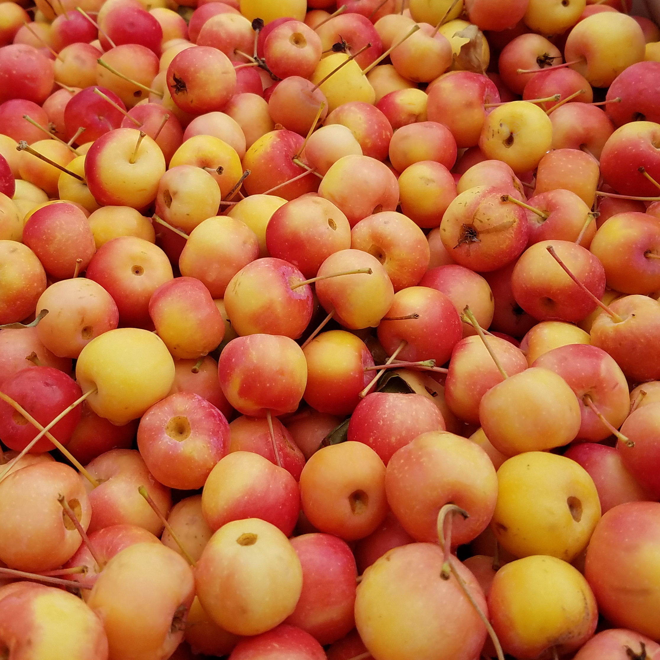 Snowdrift Crab - A bittersharp crab apple high in acid and tannins, it is most commonly used as a pollinator for dessert apples. This apple is the smallest and has the highest sugar content of all our varieties. It is excellent for blending.